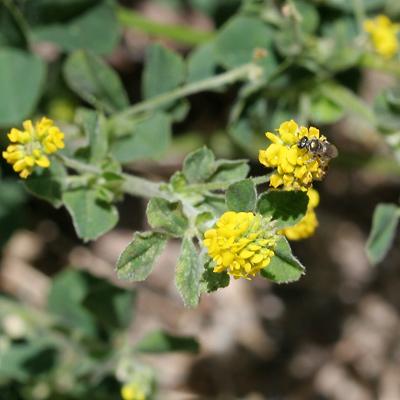 Medicago lupulina - Black Medick, Black Medic, Black Medic Clover, Hop Clover, Hop Medic, Nonesuch, Yellow Trefoil (flowers)