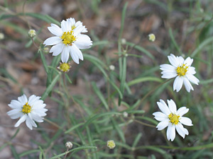 Melampodium leucanthum - Plains Blackfoot, Blackfoot Daisy