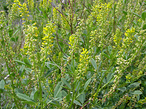 Melilotus indicus - Annual Yellow Sweetclover, Annual Yellow Sweet Clover