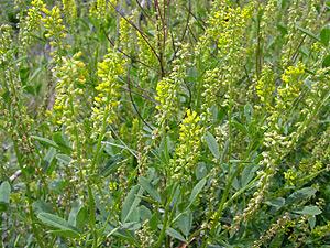 Melilotus indicus annual yellow sweetclover annual yellow sweet melilotus indicus annual yellow sweetclover annual yellow sweet clover plant name mightylinksfo