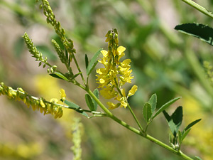 Melilotus officinalis - Yellow Sweetclover, Yellow Sweet Clover, White Sweetclover, White Sweet Clover, Ribbed Melilot, Field Melilot