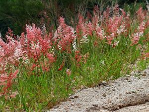 Melinis repens - Rose Natal Grass, Rose Natalgrass, Natal Redtop
