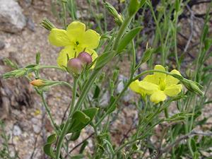 Menodora scabra - Rough Menodora, Twinberry, Yellow Menodora