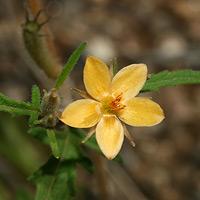 Orange Flowers - Mentzelia asperula – Organ Mountain Blazingstar
