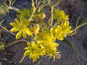Mentzelia multiflora - Adonis Blazingstar, Adonis Stickleaf, Desert Blazingstar, Manyflowered Mentzelia