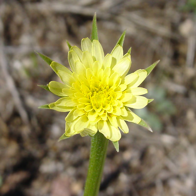 Microseris lindleyi - Lindley's Silverpuffs, Silver Puffs, Starpoint