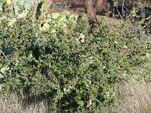 Mimosa aculeaticarpa var. biuncifera - Catclaw Mimosa, Wait-a-minute Bush, Wait-a-bit