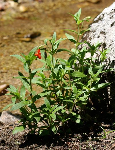 Mimulus cardinalis - Scarlet Monkeyflower, Cardinal Monkey-flower, Crimson Monkey Flower