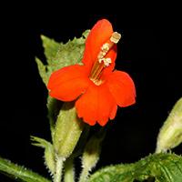 Orange Flowers - Mimulus cardinalis – Scarlet Monkeyflower