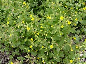 Mimulus guttatus - Seep Monkeyflower, Common Monkeyflower, Common Monkey Flower