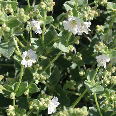 Mirabilis laevis - Desert Wishbone-bush (white flowers)