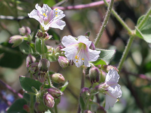 Mirabilis laevis - Desert Wishbone-bush