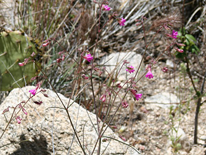 Mirabilis linearis - Narrowleaf Four O'Clock, Ribbon Four O'Clock