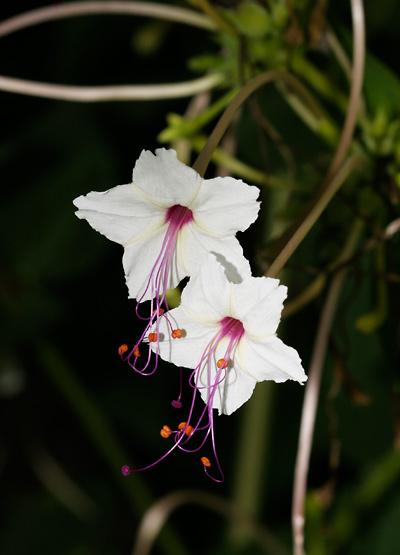 Flor maravilla | MH2L | Pinterest