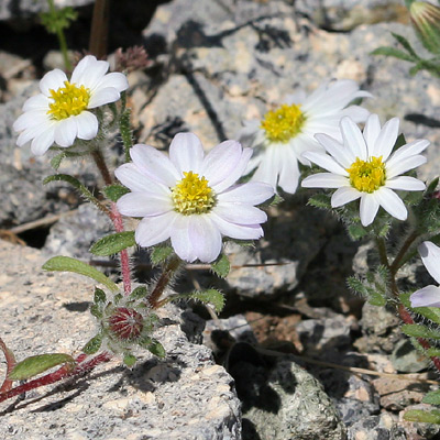 Monoptilon bellioides - Mojave Desertstar