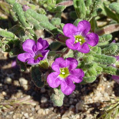 Nama hispidum - Bristly Nama, Sandbells