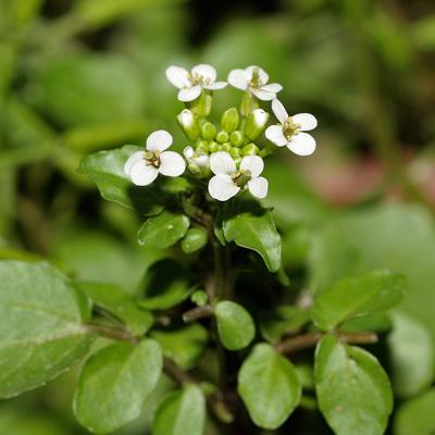 Nasturtium officinale - Watercress, Water-cress, White Watercress, True Watercress (flowers)