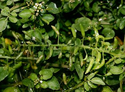 Nasturtium officinale - Watercress, Water-cress, White Watercress, True Watercress (seed pods)