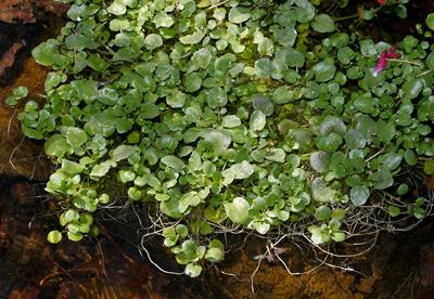 Nasturtium officinale - Watercress, Water-cress, White Watercress, True Watercress