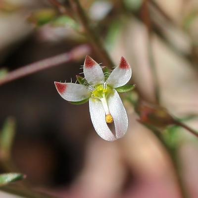 Nemacladus glanduliferus - Glandular Threadplant