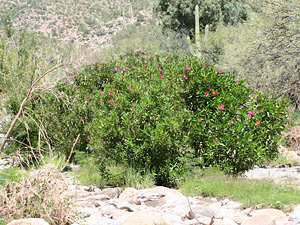 Nerium oleander - Oleander