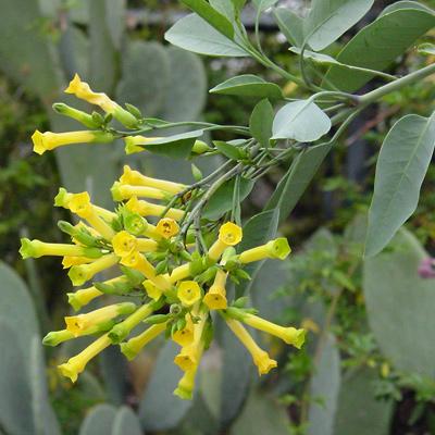 Nicotiana glauca - Tree Tobacco