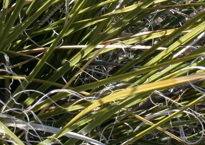 Nolina microcarpa - Sacahuista, Beargrass, Bear Grass, Sacahuiste, Palmilla Sacahuista, Sacahuista Beargrass, Small-seed Nolina (leaves)