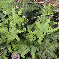 Non-flowering Plants - Notholaena standleyi – Star Cloak Fern