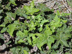 Notholaena standleyi - Star Cloak Fern, Standley's Cloak Fern