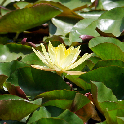 Nymphaea mexicana - Yellow Waterlily, Banana Waterlily
