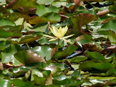 Nymphaea mexicana - Yellow Waterlily, Banana Waterlily
