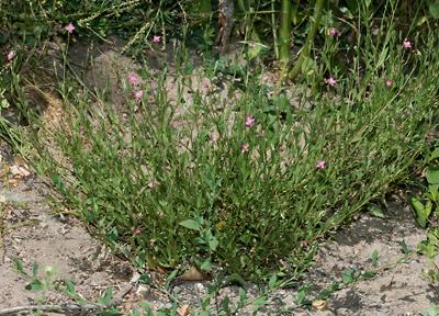 Oenothera rosea - Rose Evening Primrose, Rosy Evening-primrose, Pink Evening-primrose