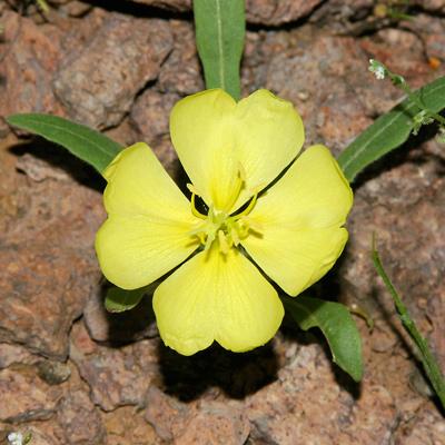 Oenothera primiveris desert evening primrose bottle evening oenothera primiveris desert evening primrose bottle evening primrose yellow desert evening primrose mightylinksfo