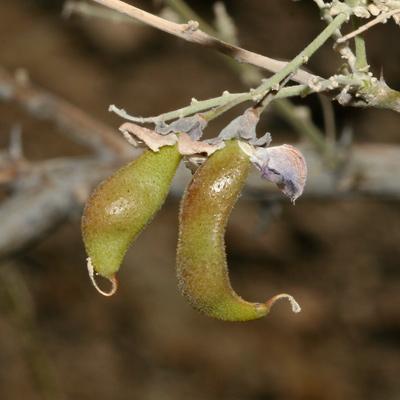 Olneya tesota - Desert Ironwood (bean pods)