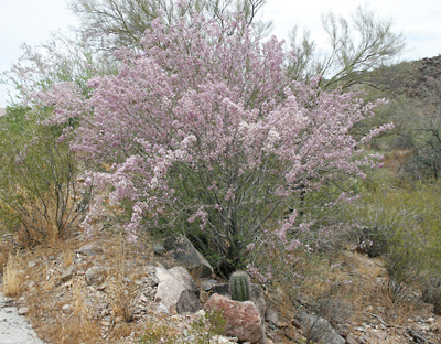Olneya tesota - Desert Ironwood