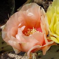 Pink Flowers - Opuntia engelmannii – Cactus Apple