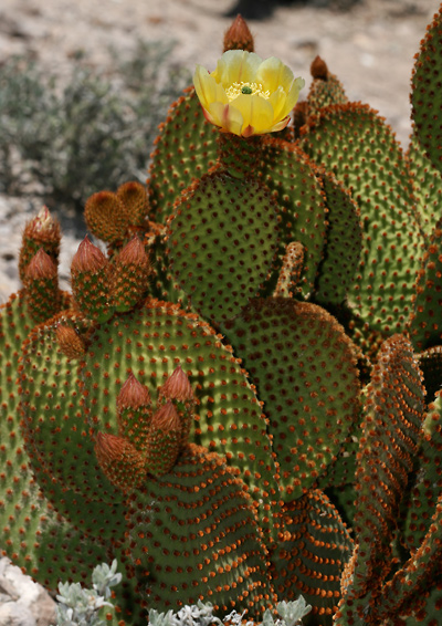 Opuntia microdasys - Angel's-wings, Bunny Ears, Bunny-ear Prickly-pear, Polka Dot Cactus, Cinnamon Cactus