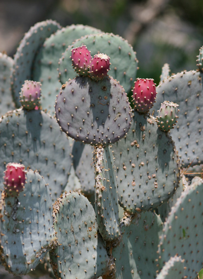 Opuntia santa-rita - Santa Rita Pricklypear, Santa Rita Prickly Pear, Purple Prickly-pear (fruit)