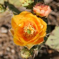 Orange Flowers - Opuntia engelmannii – Cactus Apple
