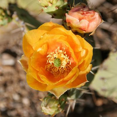 Opuntia engelmannii - Cactus Apple, Engelmann's Pricklypear, Engelmann's Prickly Pear (orange flower)