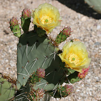 Common Wildflowers - Opuntia engelmannii – Cactus Apple