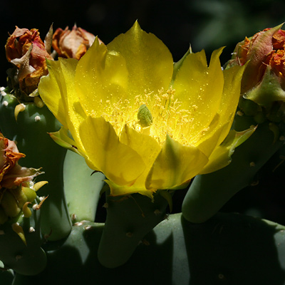 Opuntia ficus-indica - Barbary Fig, Indian Fig, Tuna Cactus, Nopal de Castilla (yellow flower)