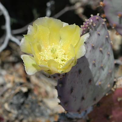 Opuntia santa-rita - Santa Rita Pricklypear, Santa Rita Prickly Pear, Purple Prickly-pear (flower)