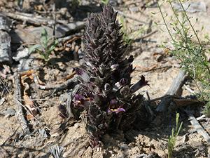 Orobanche cooperi - Desert Broomrape, Cooper's Broomrape, Burro Weed Strangler