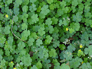 Oxalis corniculata - Creeping Woodsorrel, Creeping Wood Sorrel, Creeping Oxalis, Creeping Woods, Yellow Oxalis, Yellow Wood Sorrel