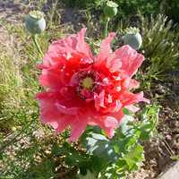 Pink Flowers - Papaver somniferum – Opium Poppy