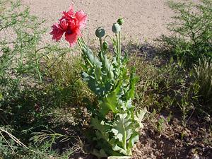 Papaver somniferum - Opium Poppy