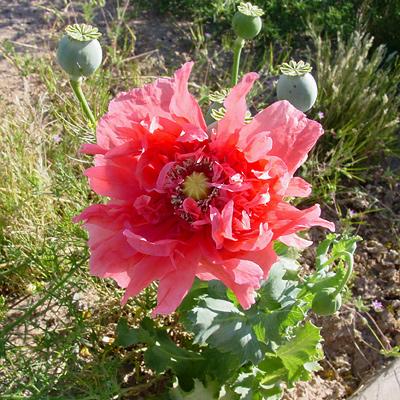 Papaver somniferum opium poppy southeastern arizona wildflowers papaver somniferum opium poppy flower mightylinksfo