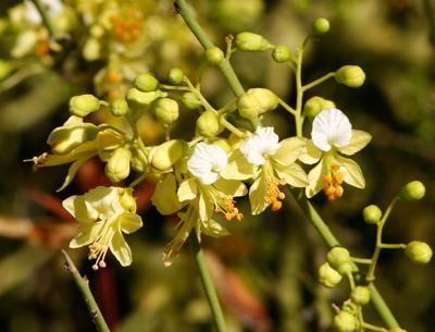 Parkinsonia microphylla - Yellow Paloverde, Foothill Paloverde, Foothill Palo Verde, Littleleaf Paloverde, Littleleaf Palo Verde (flowers)