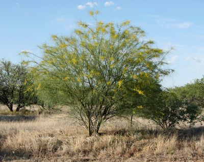 Parkinsonia aculeata - Jerusalem Thorn, Mexican Paloverde, Mexican Palo Verde